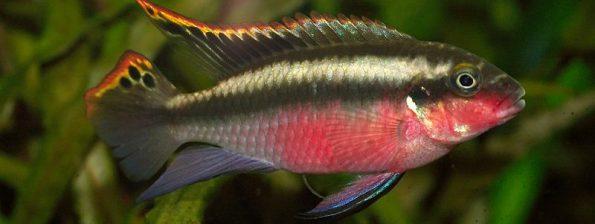 Pelvicachromis pulcher - Kersenbuikcichlide