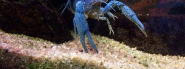 Blauwe Kreeft - Procambarus alleni