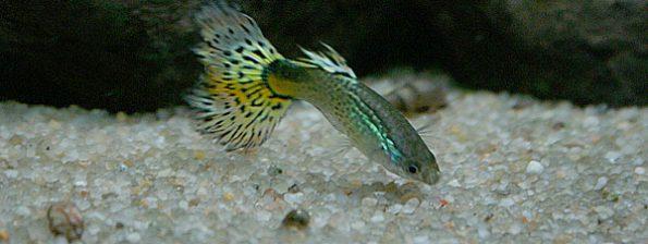 Guppy mannetje - Poecilia reticulata