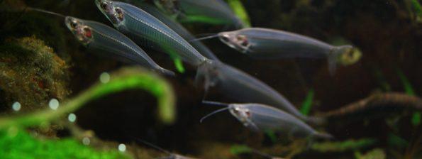Kryptopterus bicirrhis - Indische Glasmeerval