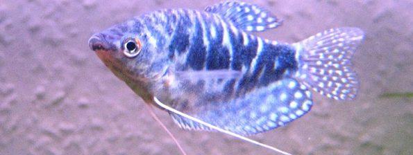 Trichogaster trichopterus - Blauwe Spat
